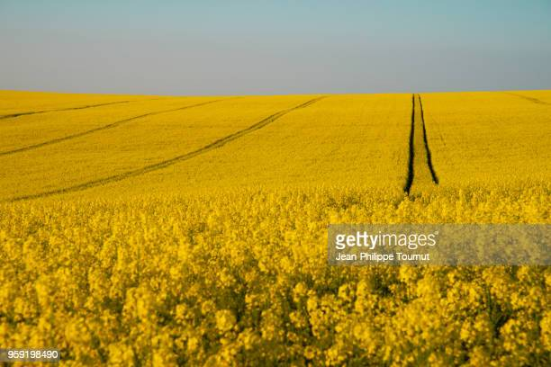 colza cultivation (brassica rapa) in france - oilseed rape stock pictures, royalty-free photos & images