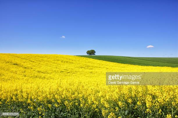 Colza field in Guadalajara. Flowers in spring. Castilla la Mancha. Spain