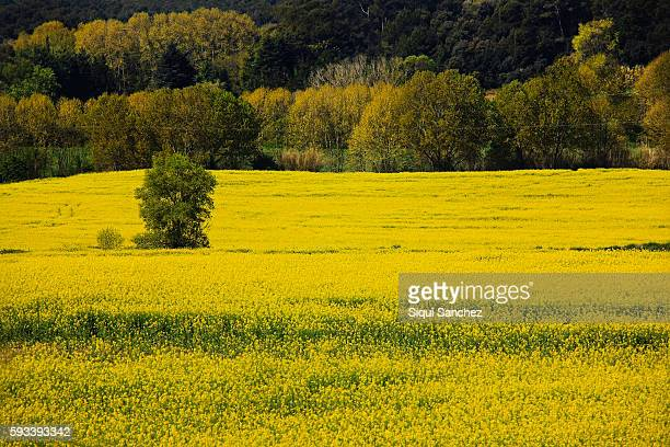 colza field - brassica rapa stock photos and pictures