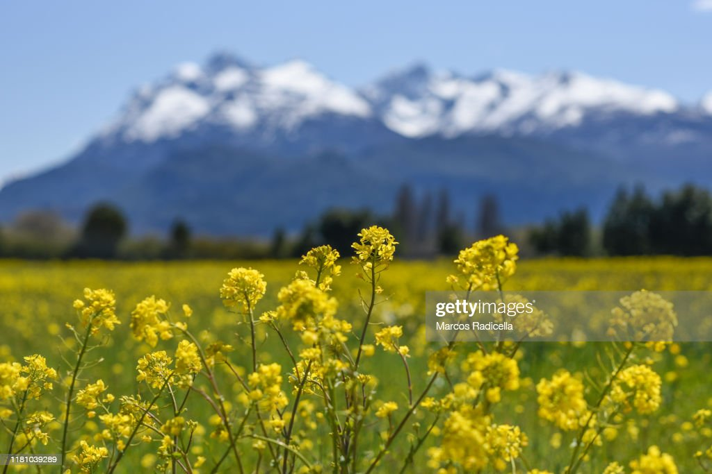 Colza flower : Stock Photo