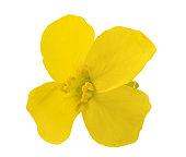 colza flower (Brassica napus )