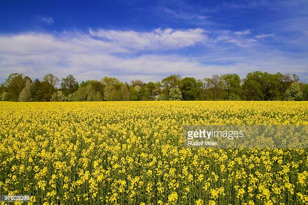 colza - brassica rapa stock photos and pictures