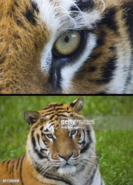 Combination of two photographs shows the closeup of an eye of the tiger that is able to see in low light on April 03 2018 in Izmir Turkey Tigers...