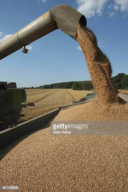 A combine dumps harvested wheat into a tractor's trailer at a field near Juehnsdorf on July 31 2008 near Berlin Germany Though world food prices are...