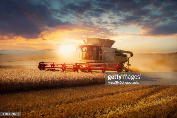 combine harvester at gold light. - harvesting stock pictures, royalty-free photos & images