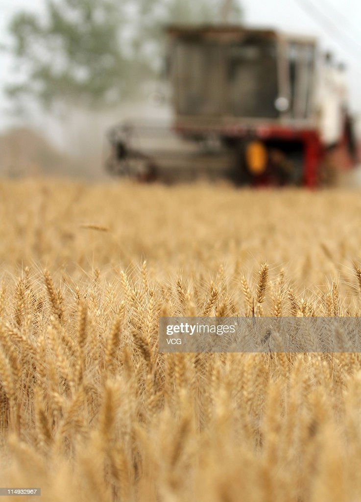 A combine harvester begins harvesting a wheat crop on May 29, 2011 in Mengcheng County, Anhui Province of China. Anhui province will put 125,000 combine harvesters into this wheat harvest season, and it's estimated that the work will be completed basically in 10 days.