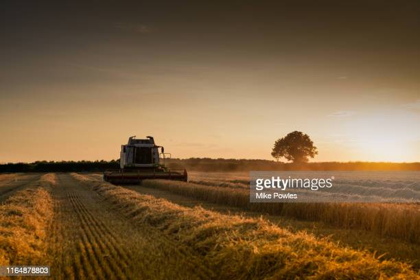 combine harvester cutting cereal at sunset norfolk - combine harvester stock pictures, royalty-free photos & images