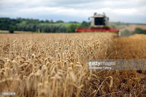 Combine harvester gathers wheat in fields at the start of harvesting on August 9, 2010 in Chebsey near Stafford, United Kingdom. Wheat prices have...
