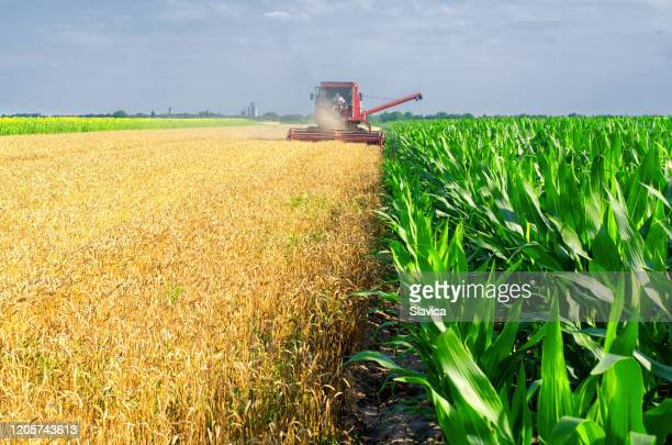combine harvester harvesting wheat - serbia stock pictures, royalty-free photos & images