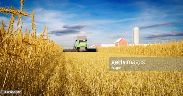 combine harvester in wheat field during harvest - stubble stock pictures, royalty-free photos & images