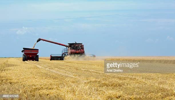 combine harvester in wheat field - continente americano foto e immagini stock