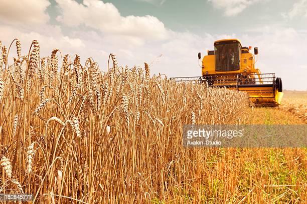 Récolter allient dans le champ