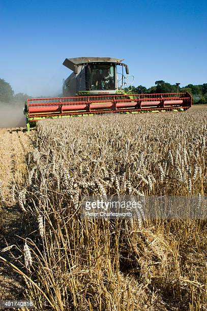 A combine harvester works in a field cutting 'dwarf wheat' wheat that has been modified so that shortened stems with heavier grain produce larger...