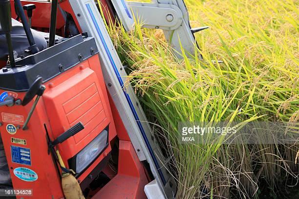 Combine Harvesting Rice