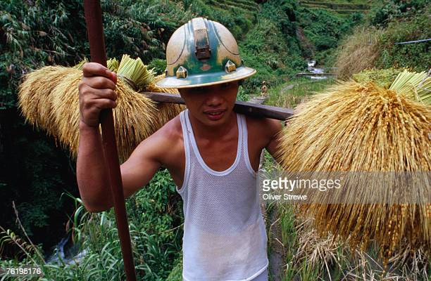 Combulo villager bringing home the palayi (rice bundles), Banaue, Cagayan Valley, Philippines, South-East Asia