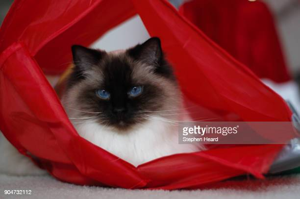 come get me - ragdoll cat stock pictures, royalty-free photos & images