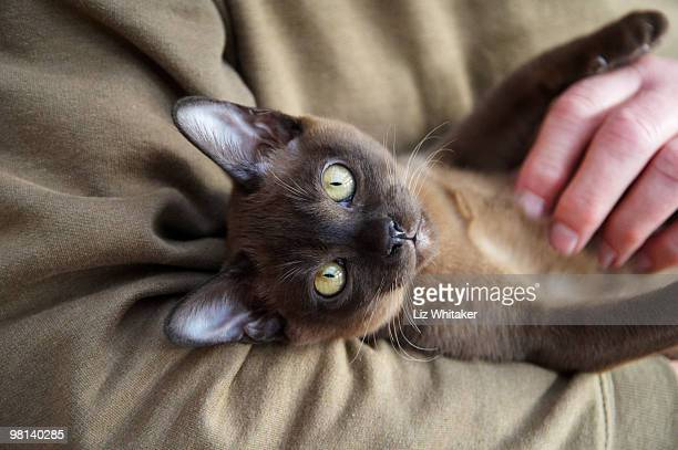 comfortable burmese kitten relaxing in man's arms - burmese cat stock pictures, royalty-free photos & images