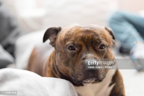 Comfortable Staffordshire Bull Terrier Lying On Sofa