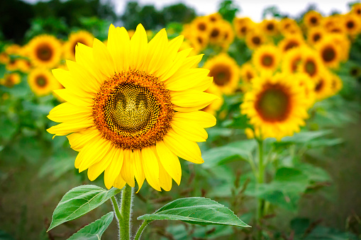 Comical Sunflower - gettyimageskorea