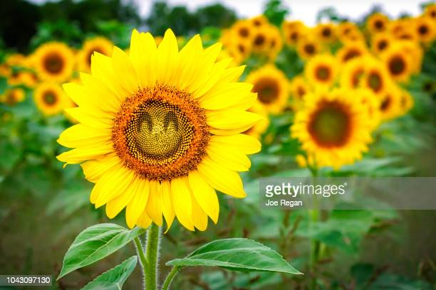 comical sunflower - smiley face stock pictures, royalty-free photos & images