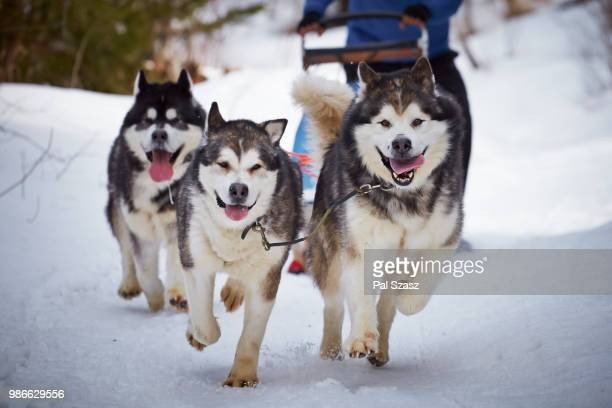 coming home! - sled dog stock pictures, royalty-free photos & images