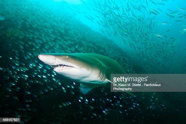 coming right at me! - nurse shark stock photos and pictures