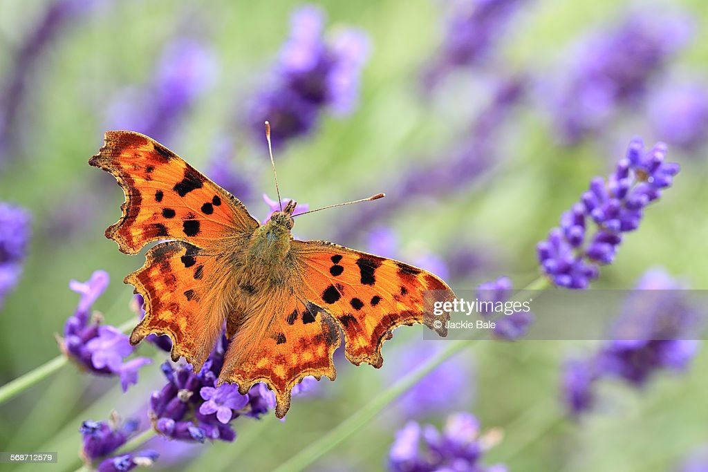 Comma butterfly on English lavender : Foto de stock