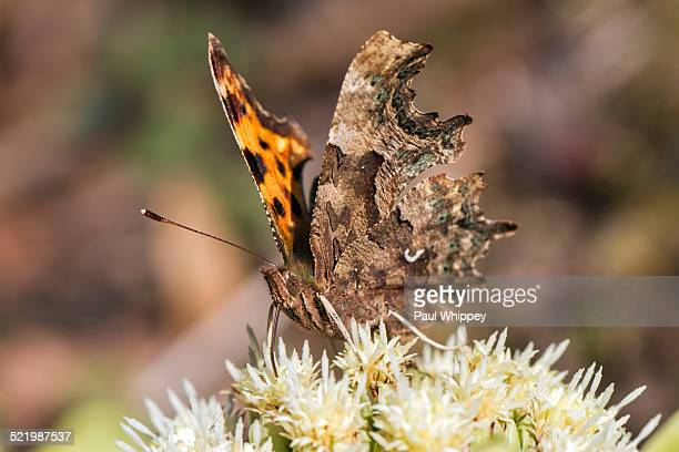 Comma butterfly -Polygonia c-album-, feeding on Alpine Butterbur flowers -Petasites paradoxus-, South Wales, United Kingdom