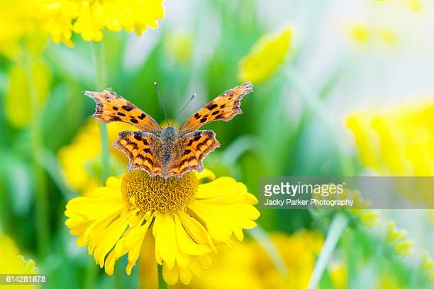 Comma Butterfly resting on yellow Helenium flower.