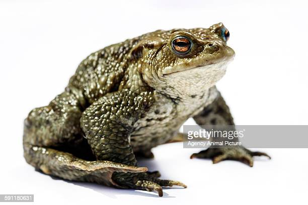 Comman toad