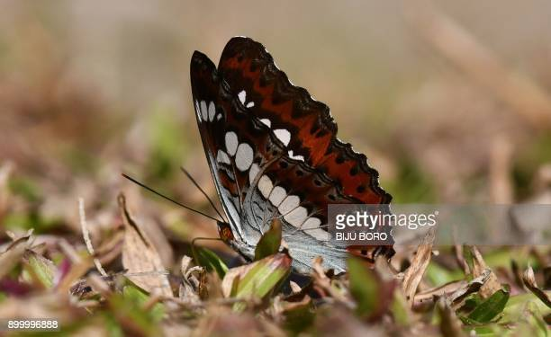 A Commander butterfly 'Moduza procris milonia' poses on the grass at Dehing Patkai Wildlife Sanctuary in Tinsukia district about 514 km from Guwahati...