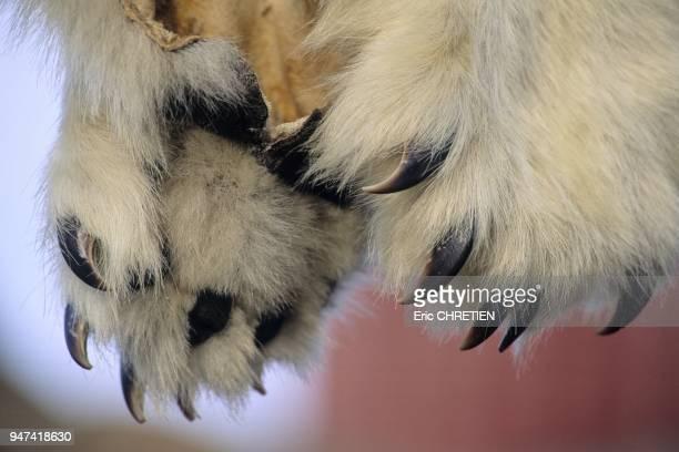 Comme le veut la tradition la peau d'un ours abattu revient toujours a celui qui l'a vu en premier meme si ce dernier n'a pas participe a la chasse...