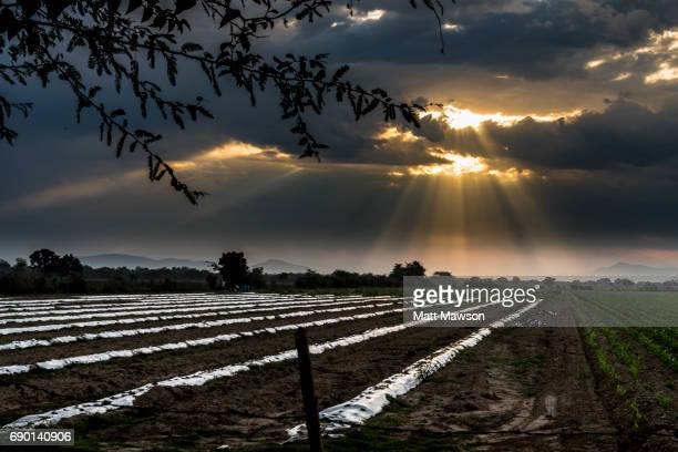 A commercial farm under the morning sunrise in Sinaloa State Mexico