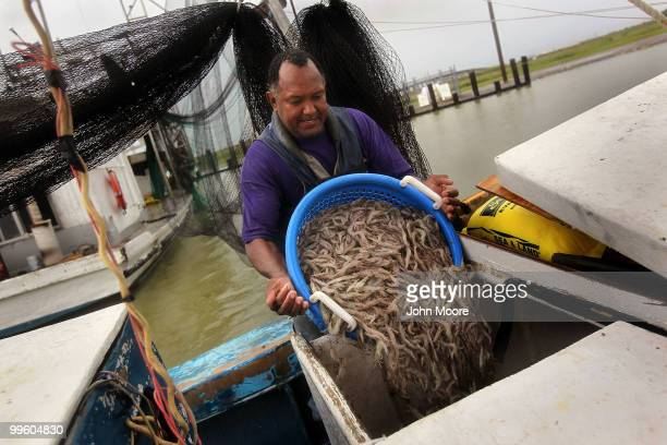 Commercial fisherman Kevin Merrick dumps shrimp into an ice chest after a morning of shrimping on May 16 2010 in Buras Louisiana In a major step...