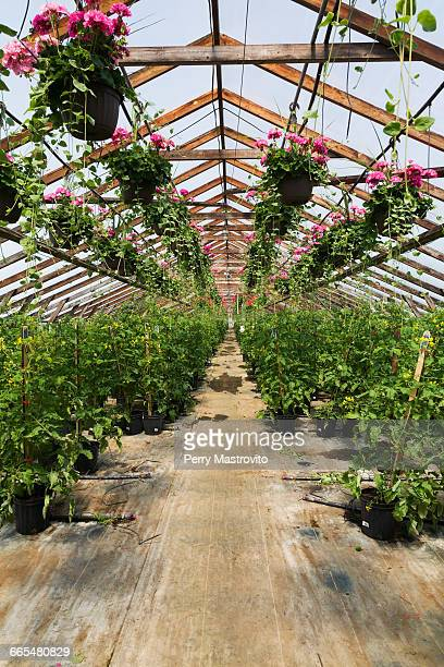 Commercial greenhouse with pink Pelargonium - Geraniums in hanging baskets and Solanum lycopersicum - Cherry Tomato plants in containers
