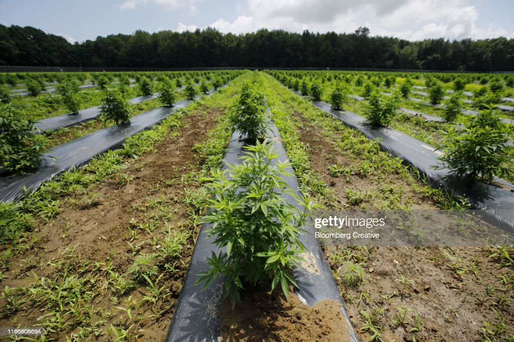 Commercial Growth Of Cannabis : Stock Photo