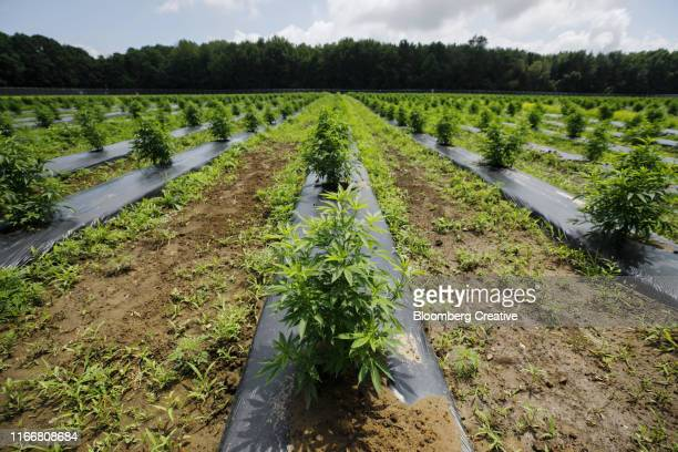 commercial growth of cannabis - 大麻草 ストックフォトと画像