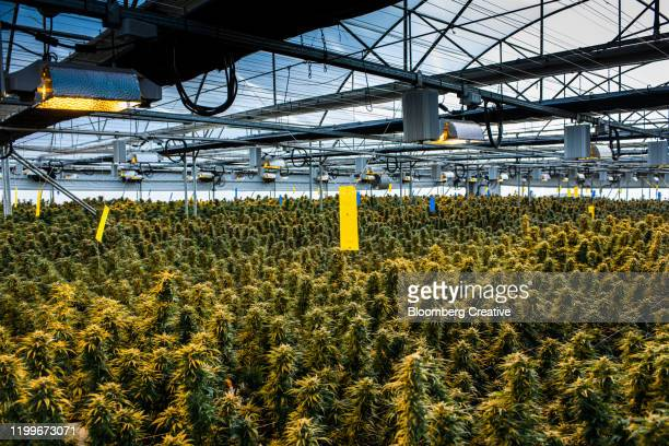commercial growth of cannabis - marijuana leaf stock pictures, royalty-free photos & images
