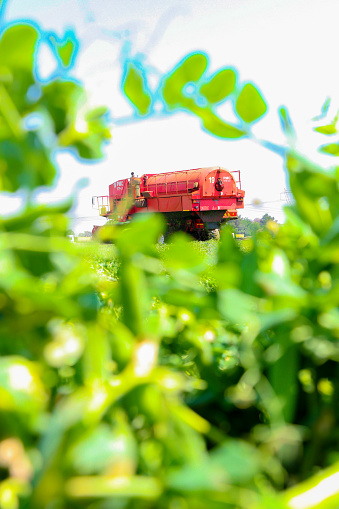 Commercial Pea Farming with a Combine Harvester - gettyimageskorea