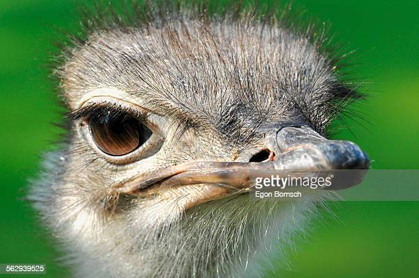 Commn Ostrich -Struthio camelus-, captive, Germany