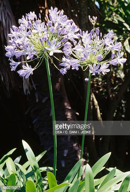 Common Agapanthus or Blue Lily Amaryllidaceae