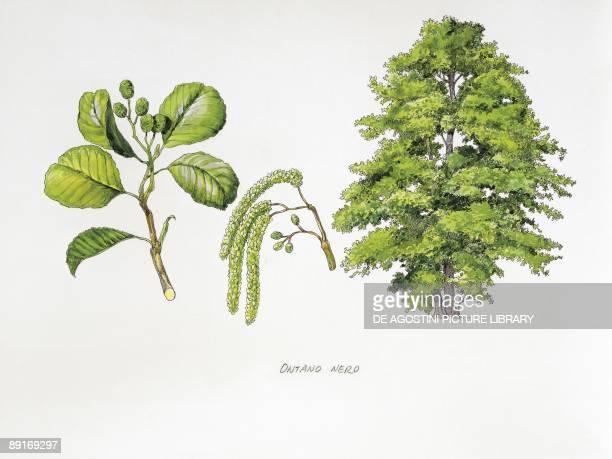 Common Alder illustration
