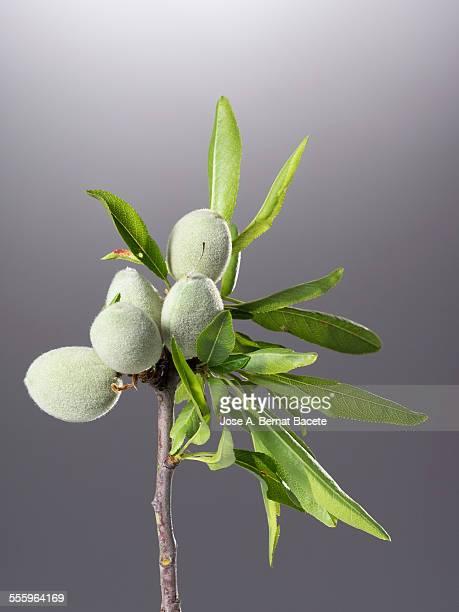 Common almonds on tree (Prunus dulcis)