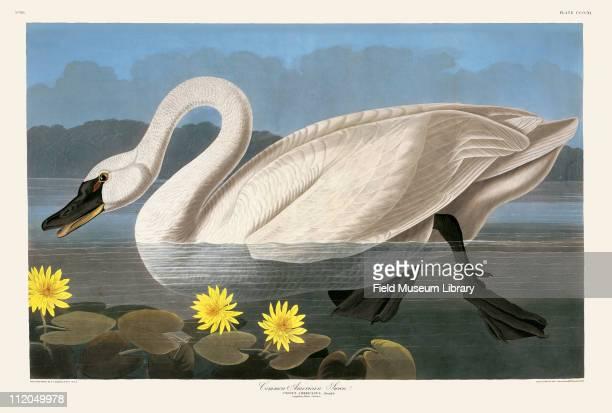 Common American Swan Plate 411 in John James Audubon's Birds of America late 1830s