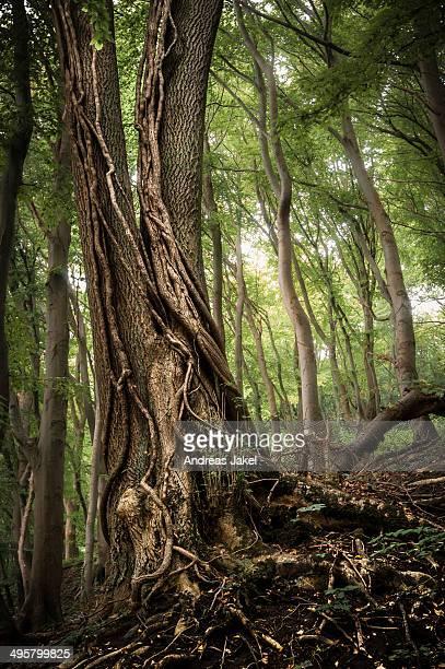 common ash -fraxinus excelsior- with ivy tendrils in a forest, jasmund national park, rugen, mecklenburg-western pomerania, germany - ash tree bildbanksfoton och bilder