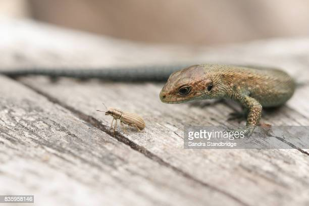 a common baby lizard (lacerta zootoca vivipara) just about to eat a weevil (sitona lineatus). - hertford hertfordshire stockfoto's en -beelden
