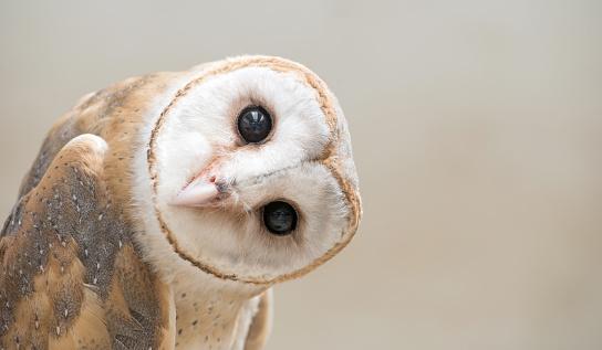 common barn owl ( Tyto albahead ) close up 511317236