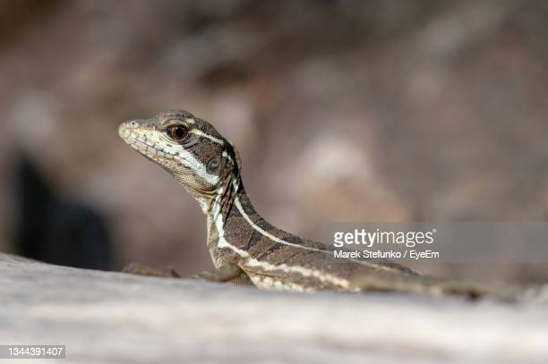common basilisk - basiliscus basiliscus in corcovado national park - marek stefunko stock pictures, royalty-free photos & images