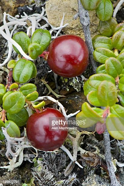 Common Bearberry or Kinnikinnick (Arctostaphylos uva-ursi)