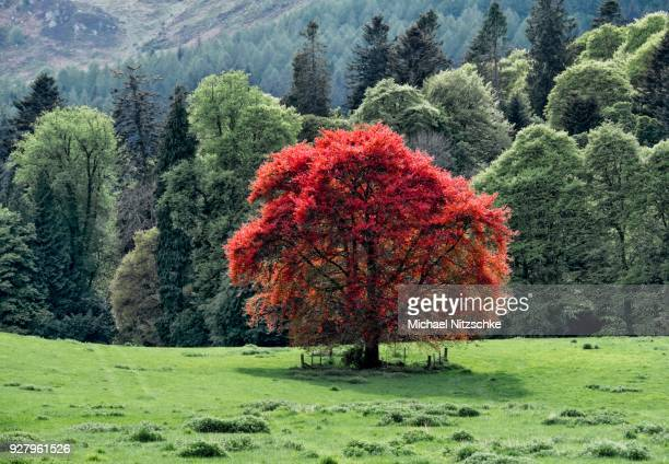 common beech (fagus sylvatica), dunkeld, perth and kinross, scotland, great britain - beech tree stock pictures, royalty-free photos & images